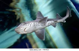 houndshark stock photos houndshark stock images alamy a young houndshark swimming in a large aquarium at the aquadom and sea life berlin
