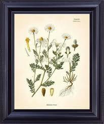 Botanical Chart Print Details About Kohler Botanical Art Print Mayweed Chamomile Flower Chart Home Room Decor Bf0707