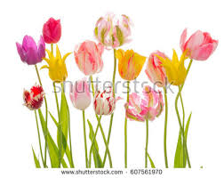 bright beautiful flowers of tender spring tulips various varieties and flowers on an isolated white