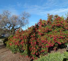 A 100ft hedge of Toyon, Heteromeles arbutifolia, as a privacy screen  between a house