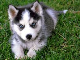 grey husky puppies with blue eyes. Perfect Grey Siberian Husky Puppy With Blue Eyes And Grey Puppies E