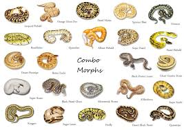 Ball Python Morph Chart Ball Python Color Morphs Cant Decide Which I Like Most