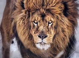 hd lion king hd wallpaper background