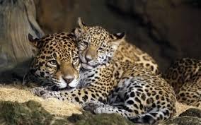 baby jaguar wallpaper. Delighful Jaguar HD Wallpaper  Background Image ID838401 And Baby Jaguar A
