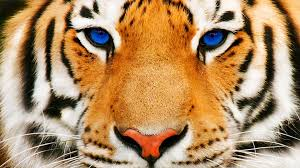 tiger face wallpaper hd. Simple Wallpaper Tiger Face Hd Wallpapers  Desktop Backgrounds For Free HD Wallpaper  Wallartcom On Tiger Face Hd E