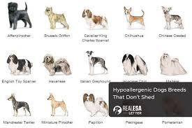 hypoallergenic dogs 40 dog breeds