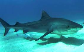 Tiger Shark Classification Chart Tiger Shark Shark Facts And Information