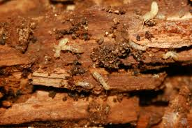 Pictures of Termites