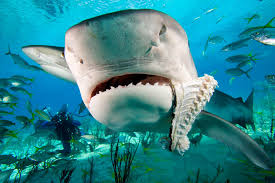 Tiger Shark Classification Chart Fossilguy Com Tiger Shark Facts And Information