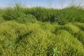 Lepidium bonariense - Flora of Qatar
