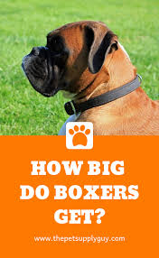 Boxer Puppy Growth Chart How Big Do Boxers Get Boxer Size Chart Read More