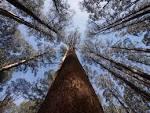 eucalyptus regnans