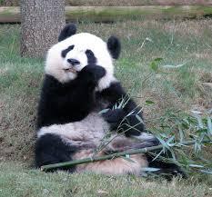 Quotes About Pandas Mesmerizing Pandas At The Atlanta Zoo Georgia Travel Photos By Galen R