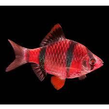 petsmart black goldfish. Exellent Petsmart GLOFish Starfire Red Tiger Barb In Petsmart Black Goldfish