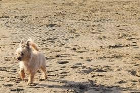 Cairn Terrier Growth Chart Growth Cairn Terrier Puppy Weight Chart Cairn Terrier