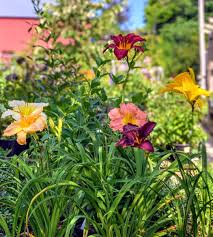 hosta and daylily garden near me page