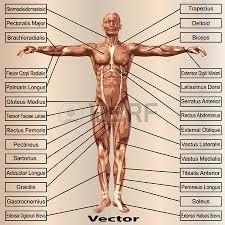 anatomie van de spieren