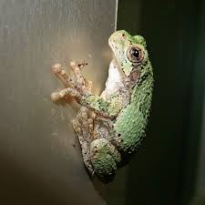 Small Insects Attracted To Light File Grey Treefrog Caught Catching Small Insects Attracted