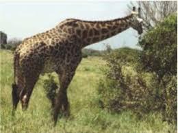 Животные и растения в природных зонах География Реферат доклад  Жираф обитатель африканской саванны и самое высокое животное в мире