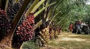 Resultado de imagen de el aceite de palma