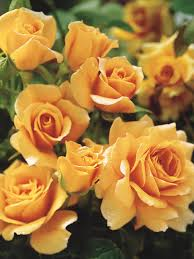 Best English Roses For Pots And ContainersFragrant Rose Plants