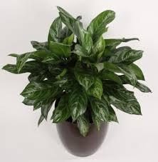 Aglaonema House Indoor Plants
