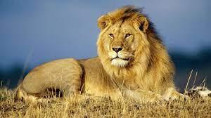 Lion, animals desktop PC and Mac wallpaper