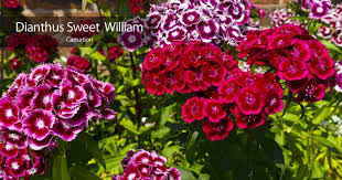 while wild varieties of dianthus plants are peculiar to northern europe south africa china asia an alaska regions of the world