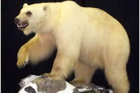 grolar bear size a grolar a pizzly scientists confirm grizzly polar bear cross