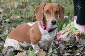 White Dachshund Dog And Owner Stock ...