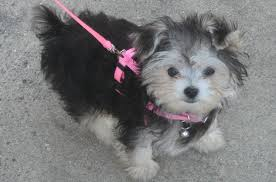 Morkie Puppy Weight Chart Morkie