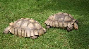 bedding for a sulcata tortoise