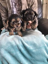 toy yorkshire terrier pups