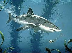 great white shark painting. Simple Great Image Detail For Great White Shark  Painting Nature Art By Mark Kelso Inside Great A