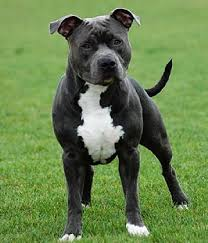 black american staffordshire terrier. Perfect Black Inside Black American Staffordshire Terrier