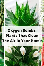 These Plants Are Oxygen Bombs & They Clean The Air In Your Home | Plants,  Gardens and House