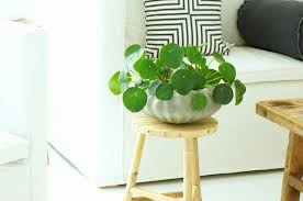 house plants with round leaves elegant houseplant flat round leaves luxury beautiful indoor house plants