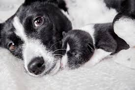 like humans dogs may resemble their pas and their siblings but also can exhibit some characteristics that even a good shake of the family tree might