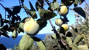 Udumbara Buddhism  WikipediaLotus Fruit Tree