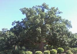 Oak Tree Size Chart Types Of Oak Trees With Pictures Of Trunk Bark Owlcation