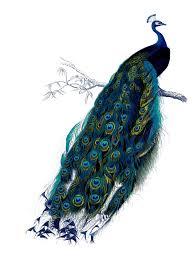 vine clip art natural history stunning pea