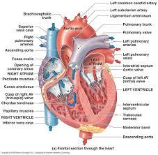 Cardiac Anatomy Chart Related Image Heart Anatomy Cardiac Nursing Heart Diagram
