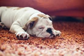 remove dog urine from carpet with the