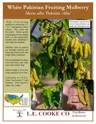 Mulberry Trees  Product Categories  Just Fruits And ExoticsTeas Weeping Fruiting Mulberry Tree