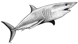 mako shark drawing. Delighful Mako Mako Shark Picture  By Bruce Mahalski To Drawing