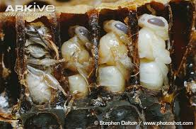 Image result for bee larvae in honey