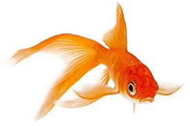 goldfish. Fine Goldfish Amazoncom  Live Goldfish  Lot Of 50 Comet 45 Inch By Chalily  Pet Supplies And T