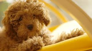 pet puppy dog sweet hd wallpaper for laptop