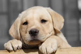 lab puppy wallpapers.  Puppy Labrador Retriever Puppy HD Wallpaper Animals Wallpapers 4272x2848 Intended Lab
