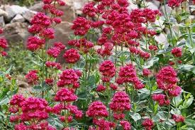 Centranthus ruber (Red Valerian)